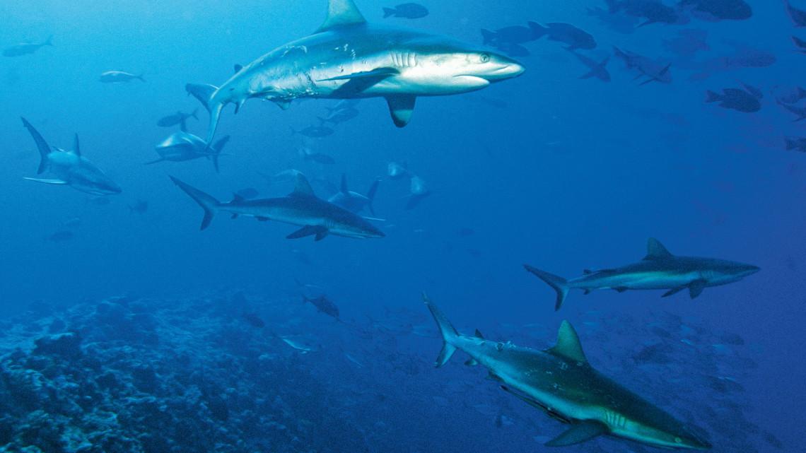 tau-inselreich-palau-graue-riffhaie