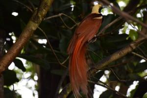 tau-papua-reise-vogel2