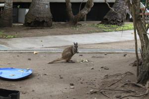 tau-papua-reise-wallaby