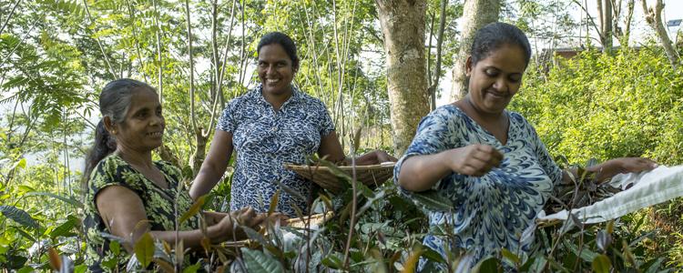 Von Hand abgelesen und schonend getrocknet: Der weisse Tee von der Bioplantage «Naratale Estate»