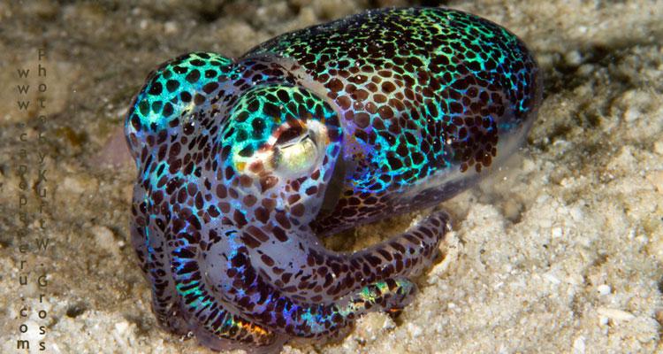 Boptail Squid