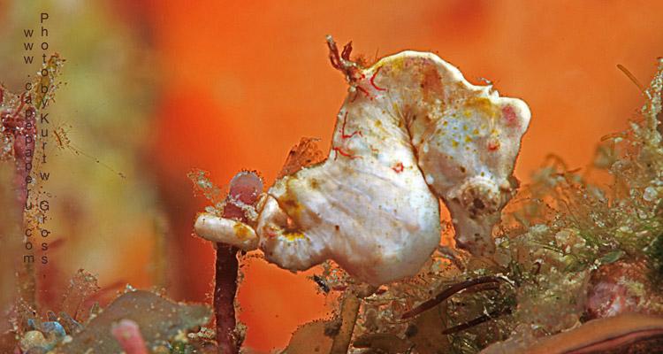 Hippocampus Colemani