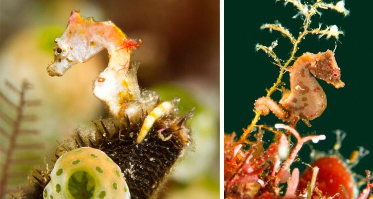 Hippocampus Pontohi & Severnsi