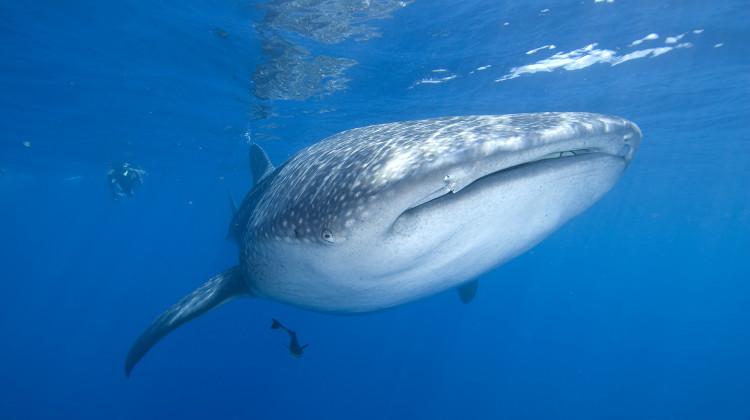 Schnorcheln mit unzähligen Walhaien von Mai – August