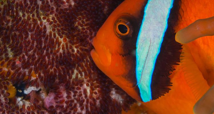 Clownfisch-mit-Eier_750x400