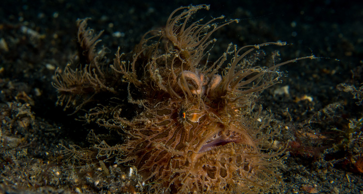 Hairy-frogfish_750x400