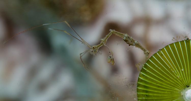 Skeleton-shrimp-750x400